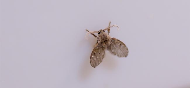水回りに小さな虫が! 厄介な「チョウバエ」かも